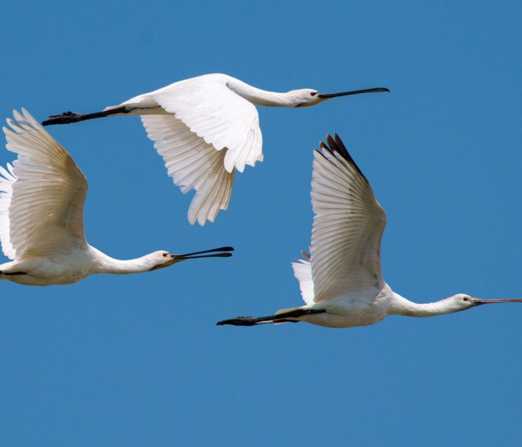 Tehnike i strategije letenja - ptica kašicara