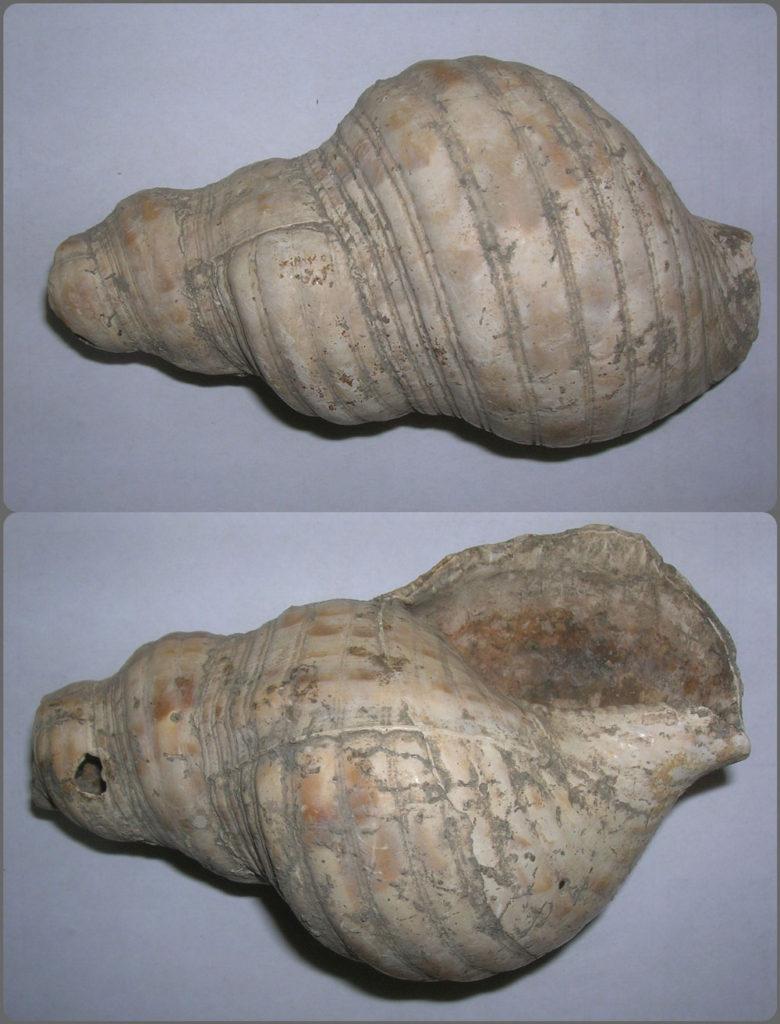 Rimska truba od ljušture morskog puža sa Marguma,